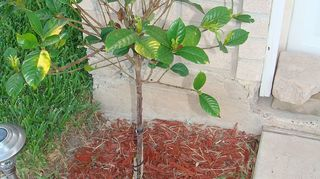 , I applied fertilizer about three weeks ago and it has improved