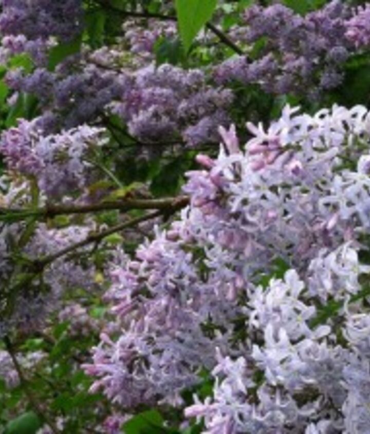 Common lilac. Easy to grow and a great addition to northern gardens.