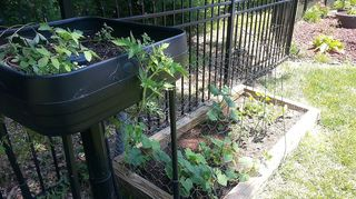 , Cherry Beef Tomatoes in top feeder with Strawberries too and Veg garden on side