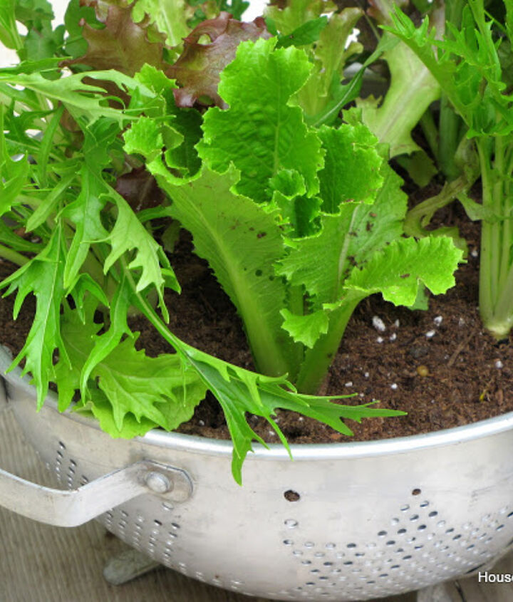 growing lettuce in a colander or how to grow and wash your veggies all in the same, container gardening, gardening, I put coffee filters in the bottom to keep the dirt from running out every time it was watered