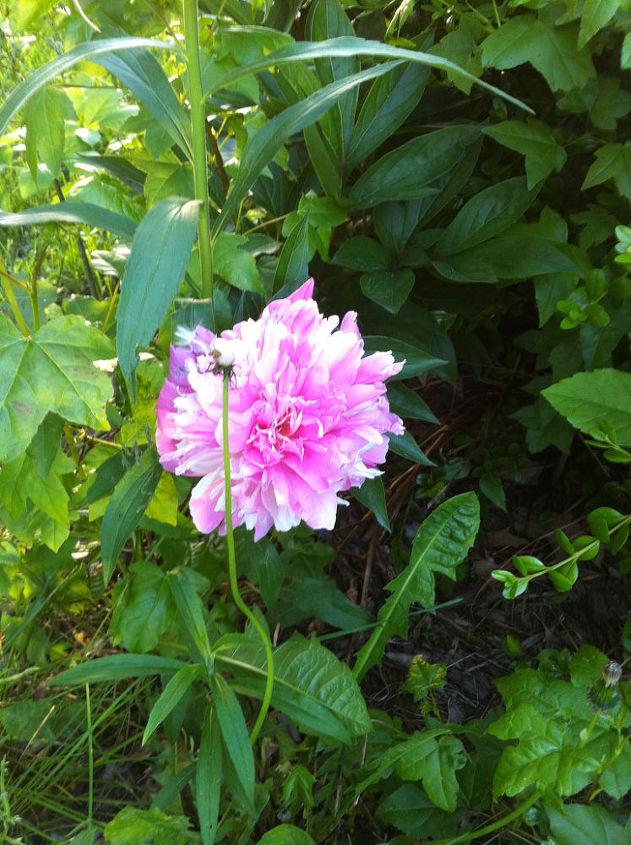Hidden Peonies Blooming in the Secret Garden