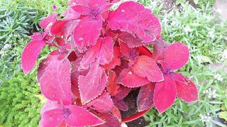 coleus being eaten by what, flowers, gardening, pest control