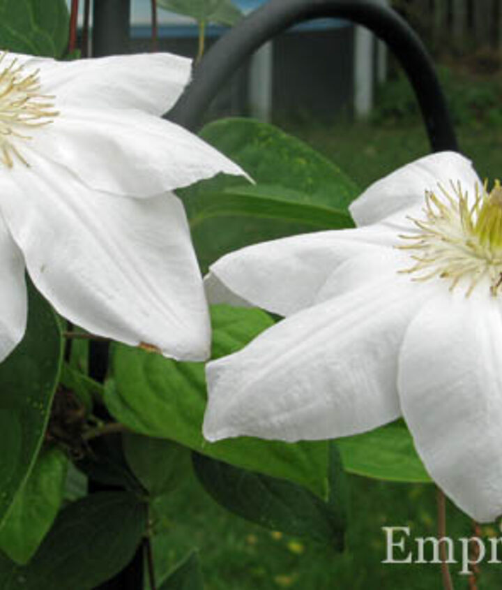 grow clematis for a gorgeous burst of colour, flowers, gardening, Okay maybe this one is my favourite