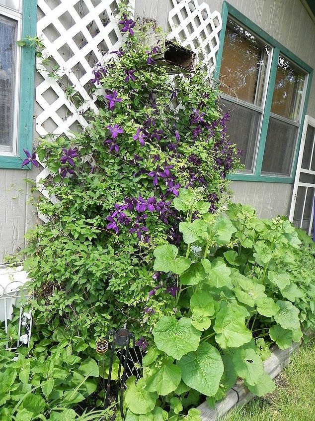 Jackmanii clematis with Hollyhocks, classic!