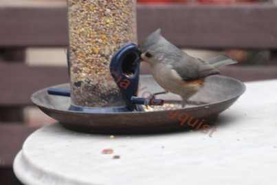"""The tuft titmouses are SOOO sweet. Details on this """"loner"""" (View One) at the tube feeder @ enjoyed the tube @ http://www.thelastleafgardener.com/2013/01/another-year-over-and-new-one-just_17.html AND details on tuft tit"""