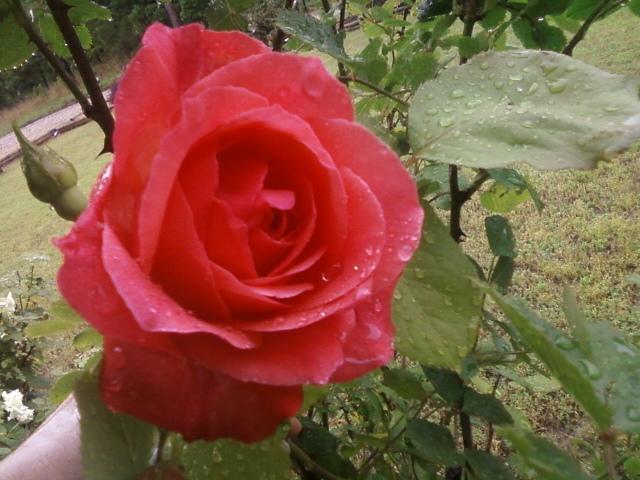 more of my roses, gardening