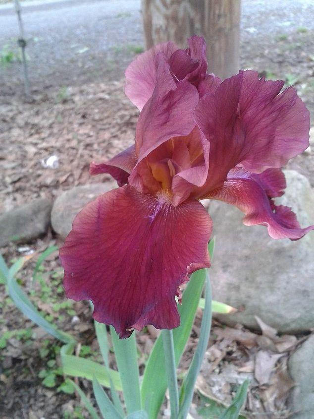 iris i forgot to post, gardening