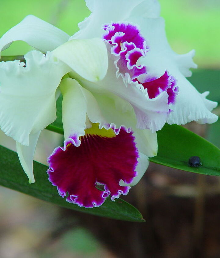 q orchid blooming in december, gardening