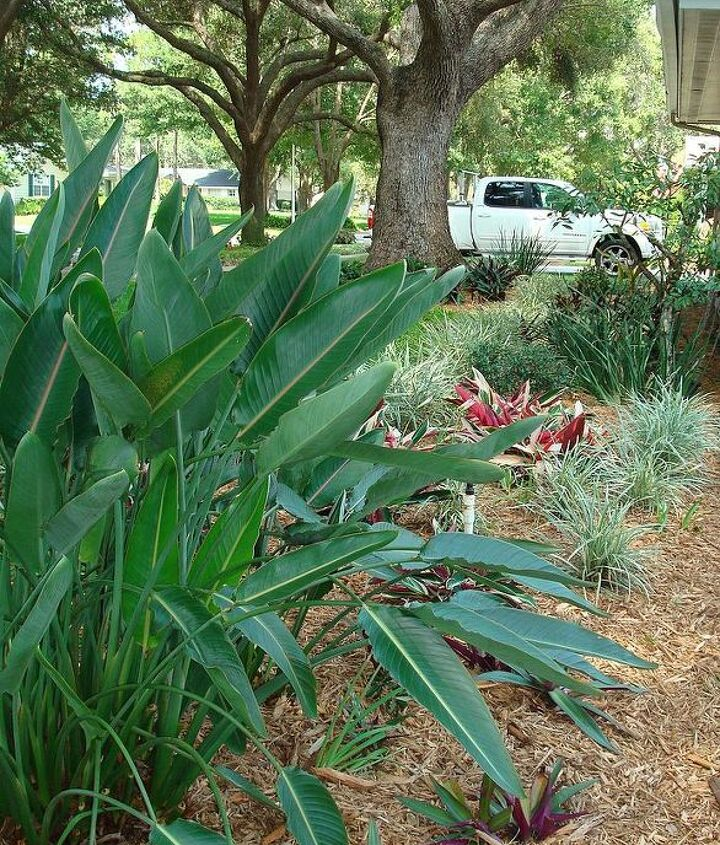 View from 1/2 way down the driveway; bird of paradise, Aztec grass, tricolor ginger and oyster plants on fresh mulch.