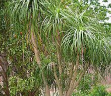 q ponytail palm is not a palm but, flowers, gardening, The Mama