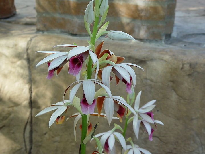 orchid that went through winter in florida, gardening, An orchid that survived in the coldest days in Florida