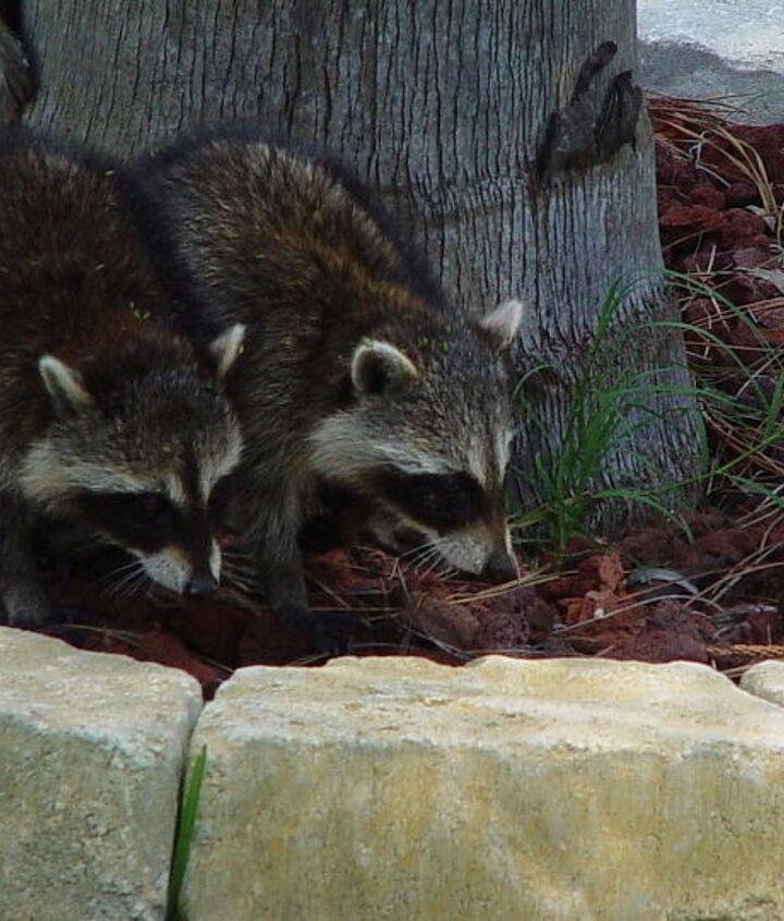 whoops, 2 racoons