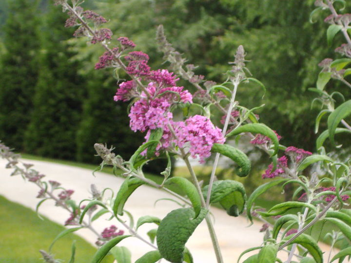 Lavender Butterfly bush--flowers got here before the butterflies did this year!!