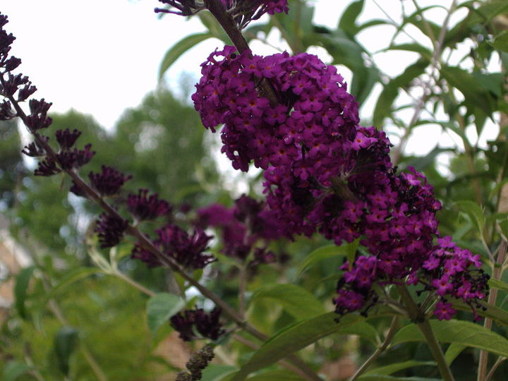 Purple butterfly bush- easy to grow and looks nice in big landscaping..