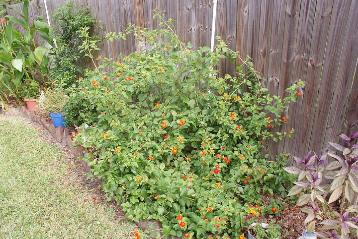 Bright Orange Lantana blooms all summer, comes in various colors and attracts butterflies.