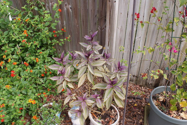 It's hard to find a purple plant! This is Persian Shield.