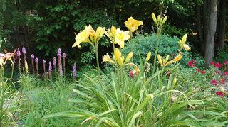 q liatris spicata blazing star, gardening, Liatris gayfeather in background day lilies from Mountain Meadow Day lily Farm Baptisia red Carpet rose