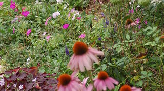 q plants, gardening, Coneflowers and Oxalis Graham Thomas rose and Queen Anne s Lace
