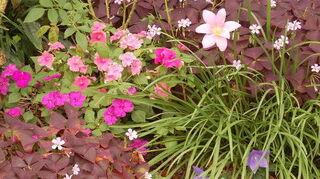 q plants, gardening, Mini Amaryllis