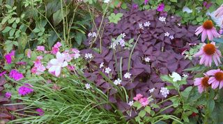 q plants, gardening, Mini Amaryllis Heartbreaker Oxalys impatiens Echinecea Kim s Kneehigh Oh I am in love