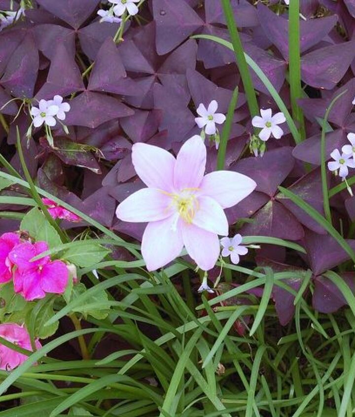 q i love using the unexpected in my designs here are some pics of oxalis, flowers, gardening