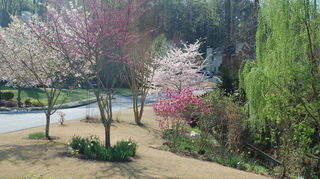 q what is the name of this flowering tree, flowers, gardening