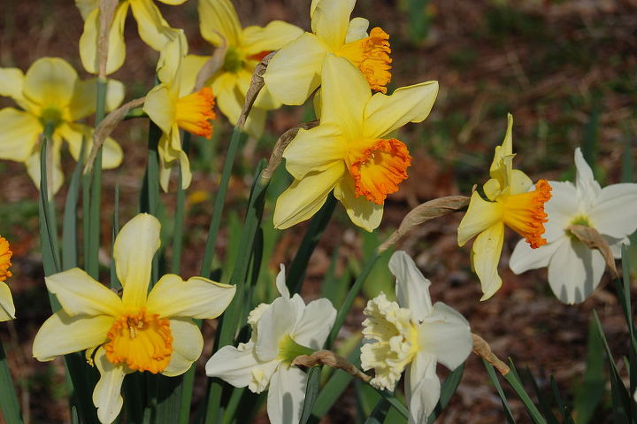 it s not too late in metro atlanta to plant spring blooming bulbs i have had, gardening
