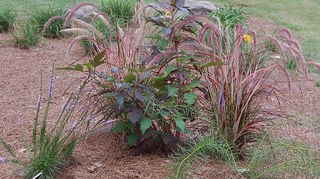 q liatris spicata blazing star, gardening, Dwarf liatris swamp hibiscus Veronica Georgia Blue annual purple fountain grass Amsonia