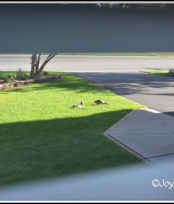 Hey! Mallard ducks are out on the lawn :)