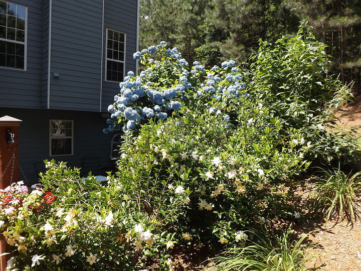 q help hometalkers my gardenias are full of blooms but flopped over so do i trim, gardening