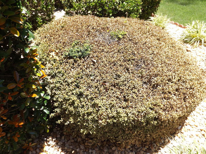 q help our bush died this bush in our front yard has been fine for 11 years found, gardening, landscape