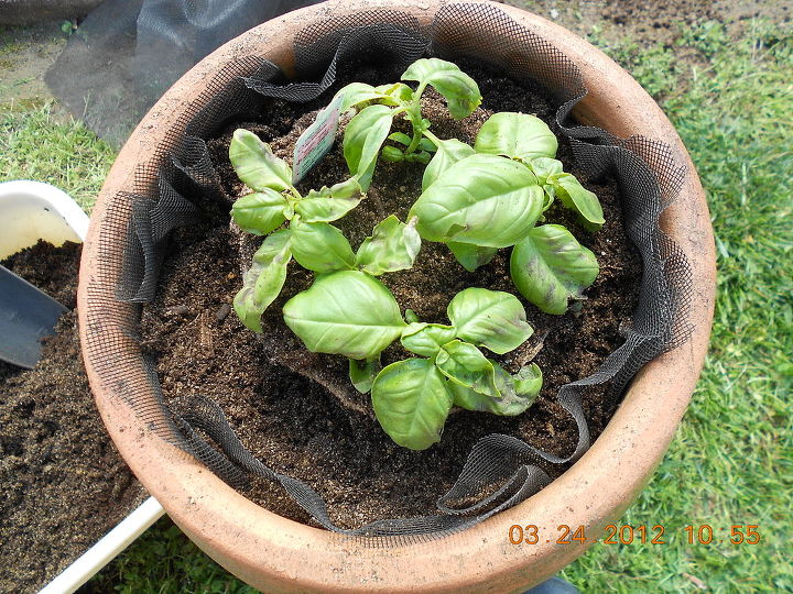 sweet basil herb plant on top strawberry container