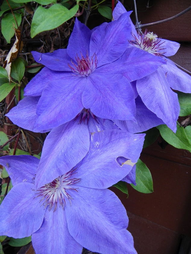 I WANT MY NEIGHBORS CLEMATIS ....LOL! Hi BRENDA NEIGHBOR ...I LOVE YOU!♥