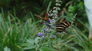 q butterfly and texas lilac, flowers, gardening, pets animals, 2 butterflies on Texas Lilac