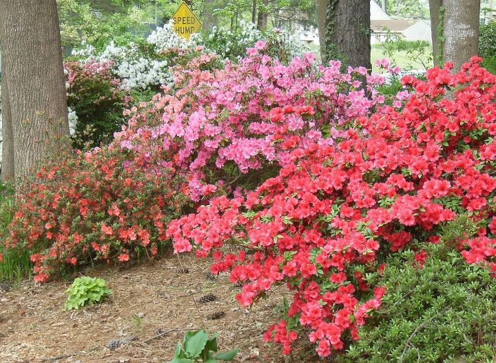 i have many large and old azaleas in my shady yard they bloom, gardening