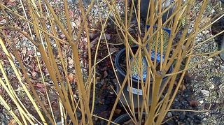 q need ideas for new soggy place, gardening, landscape, Yellow twig in winter color Has a solid green leaf Can be mixed with the red for beautiful winter displays
