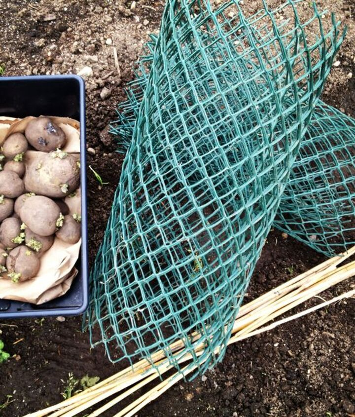 easiest potato growing method ever, gardening, Green plastic fencing bamboo stakes and well rotted compost