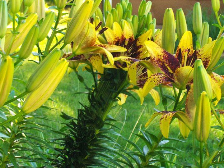 q crazy lily, gardening