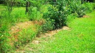 planting tiger lilies in ditch, gardening, landscape