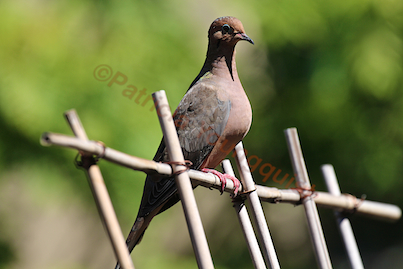 A mourning dove catches some rays on the trellis-urban-hedge! INFO on this often funky bird is @ http://www.thelastleafgardener.com/search/label/Mourning%20Doves AS WELL AS @ http://thelastleafgardener.tumblr.com/search/mourning+doves
