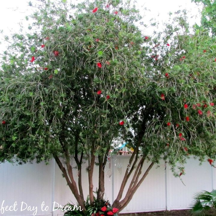 Bottle Brush tree today. It has gotten a lot taller and fuller.  The ground underneath has taken a beating.