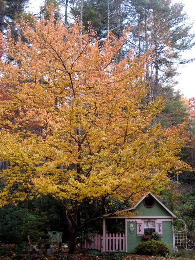 A fall view of Crickhollow cottage, with the Kwanzan cherry tree in all its splendor.