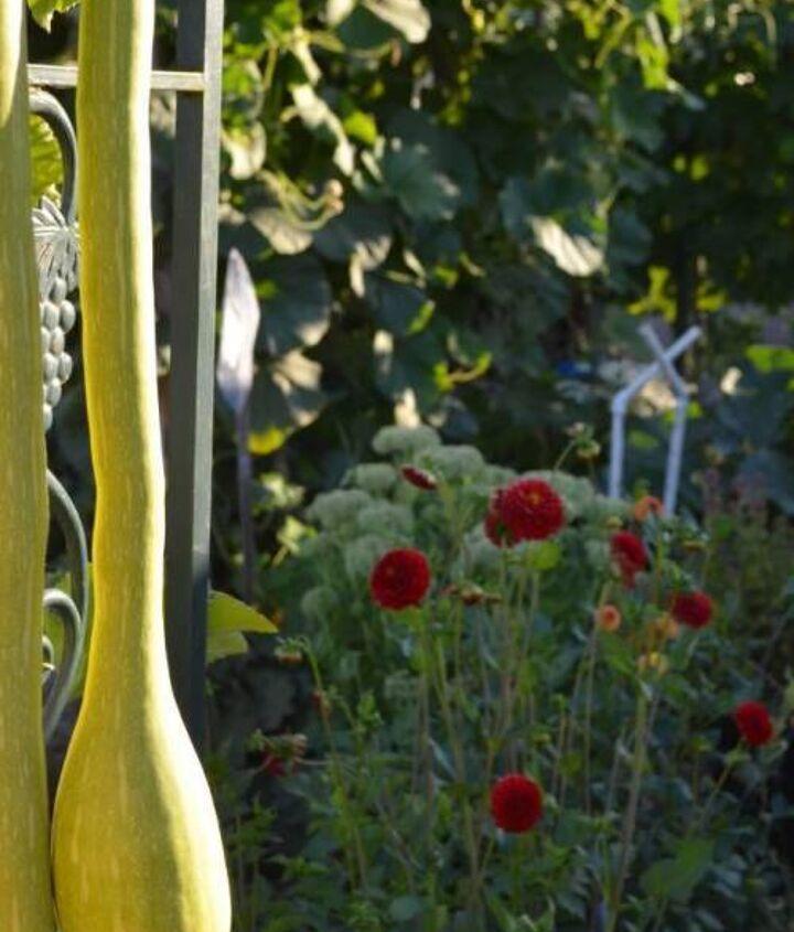 Dahlias growing among the veggies.