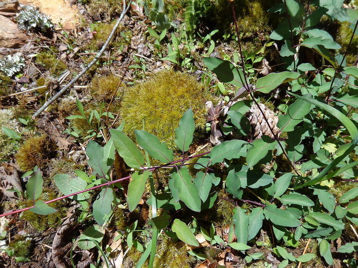 name these plants, flowers, gardening, This spreading vine has red veins on the stems so I don think Poison ivy Photo 1