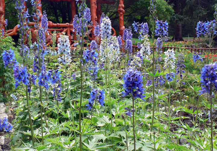 There were Delphinium everywhere. Apparently what they like is an endless winter and 18-hour summer days.