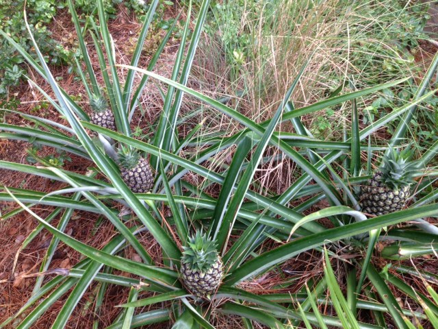 pineapples soon, gardening