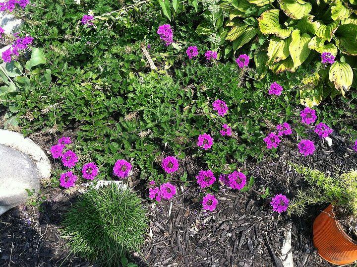 Verbena so colorful.