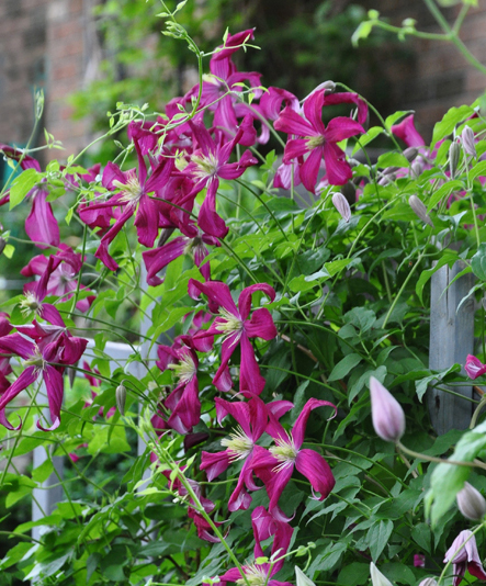 planting and pruning a clematis, flowers, gardening