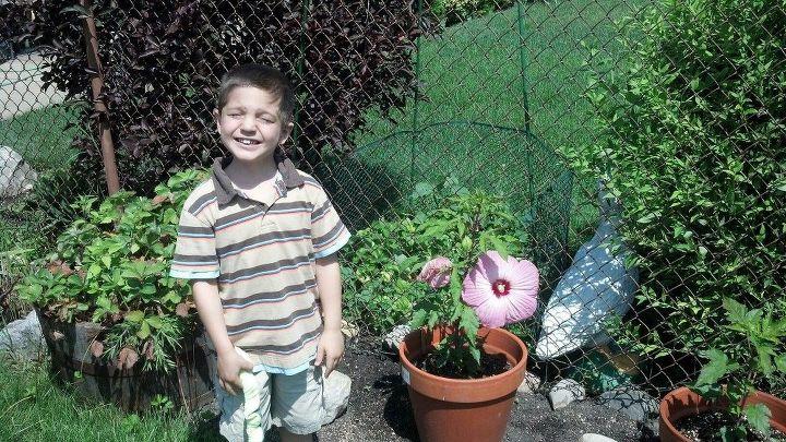potted hibiscus, flowers, gardening, hibiscus