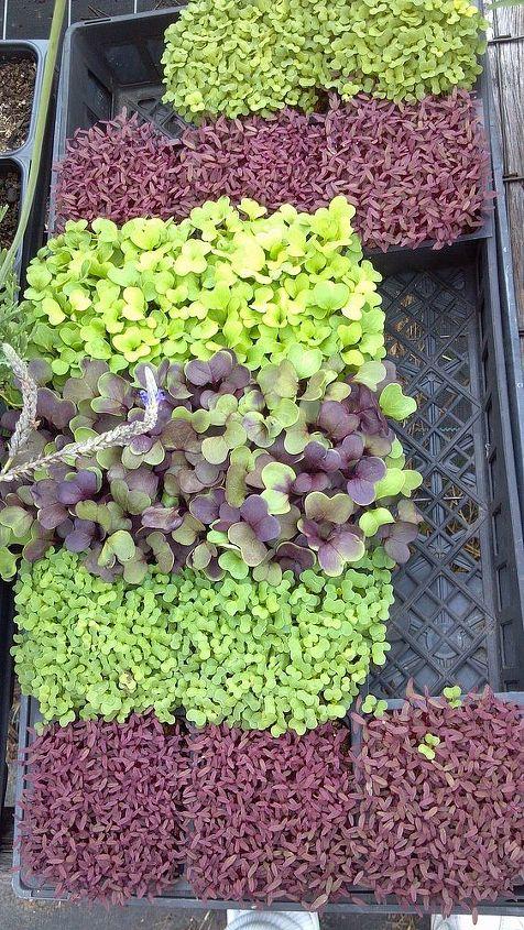 These Microgreens were ready in 5 days.  They are red amaranth, tatsoi, Red Rambo Radish and Daikon Radish.